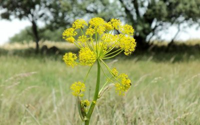 Herb of the Month – Asafoetida