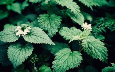 Nettle: A plant that refuses to be ignored